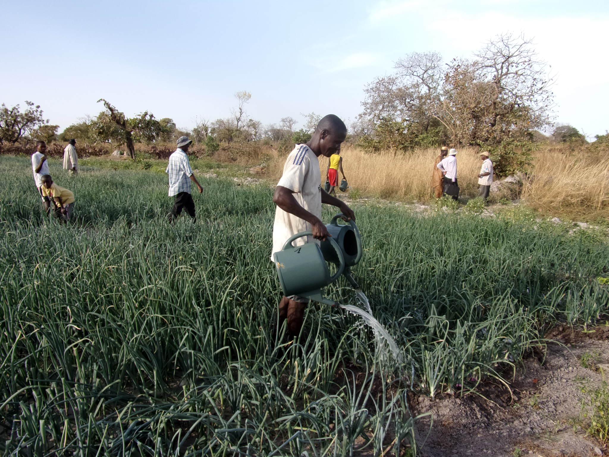 Culture De L Oignon Rouge fédération des paysans du fouta djallon